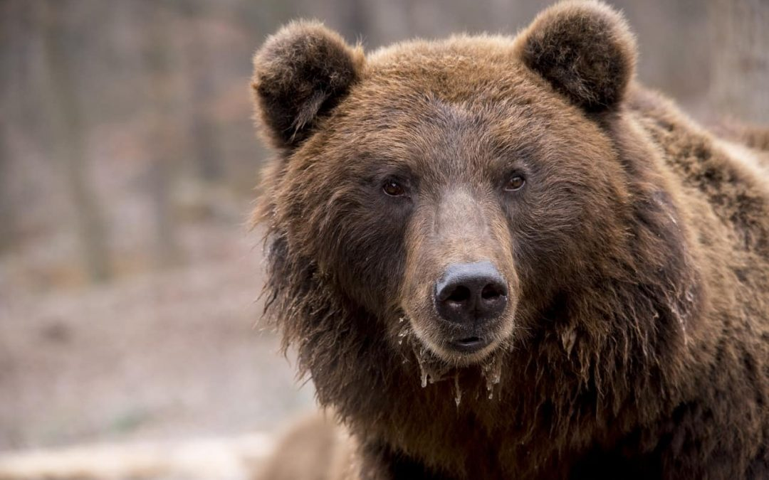 Europe is going wild: bears, wolves and lynx re-colonise their historical ranges