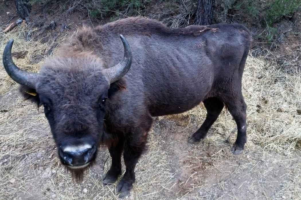 Help save European bison from starvation and disease!