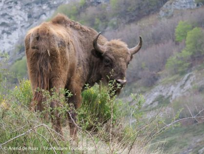 After 15,000 years, European bison return to long-lost habitat in the Cantabrian mountains