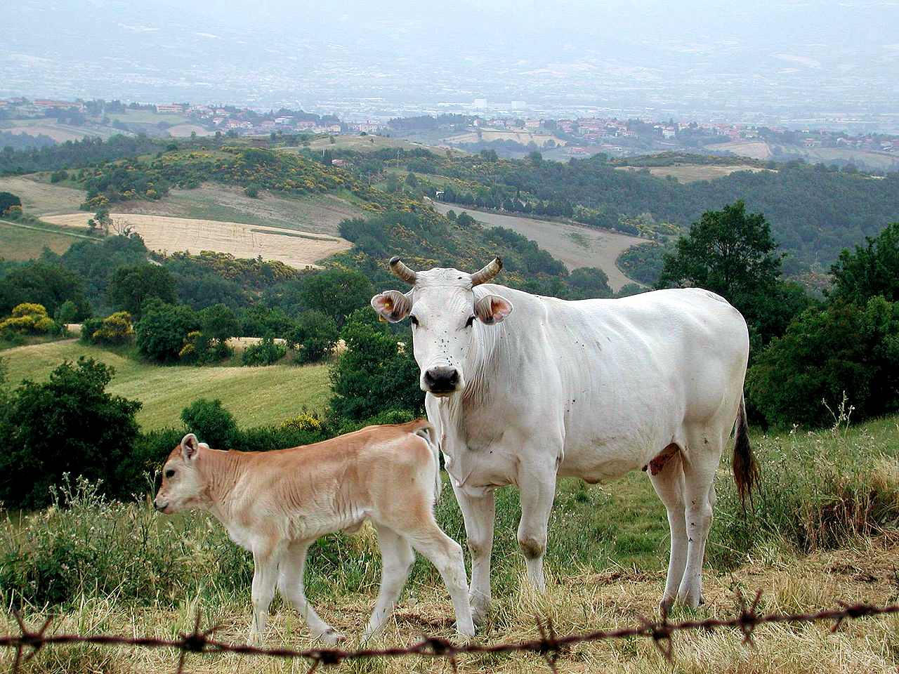 DNA analysis of medieval cattle from central Italy suggests an old origin of Chianina and Romagnola cattle