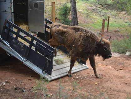 Largest Bison reintroduction ever in Western Europe