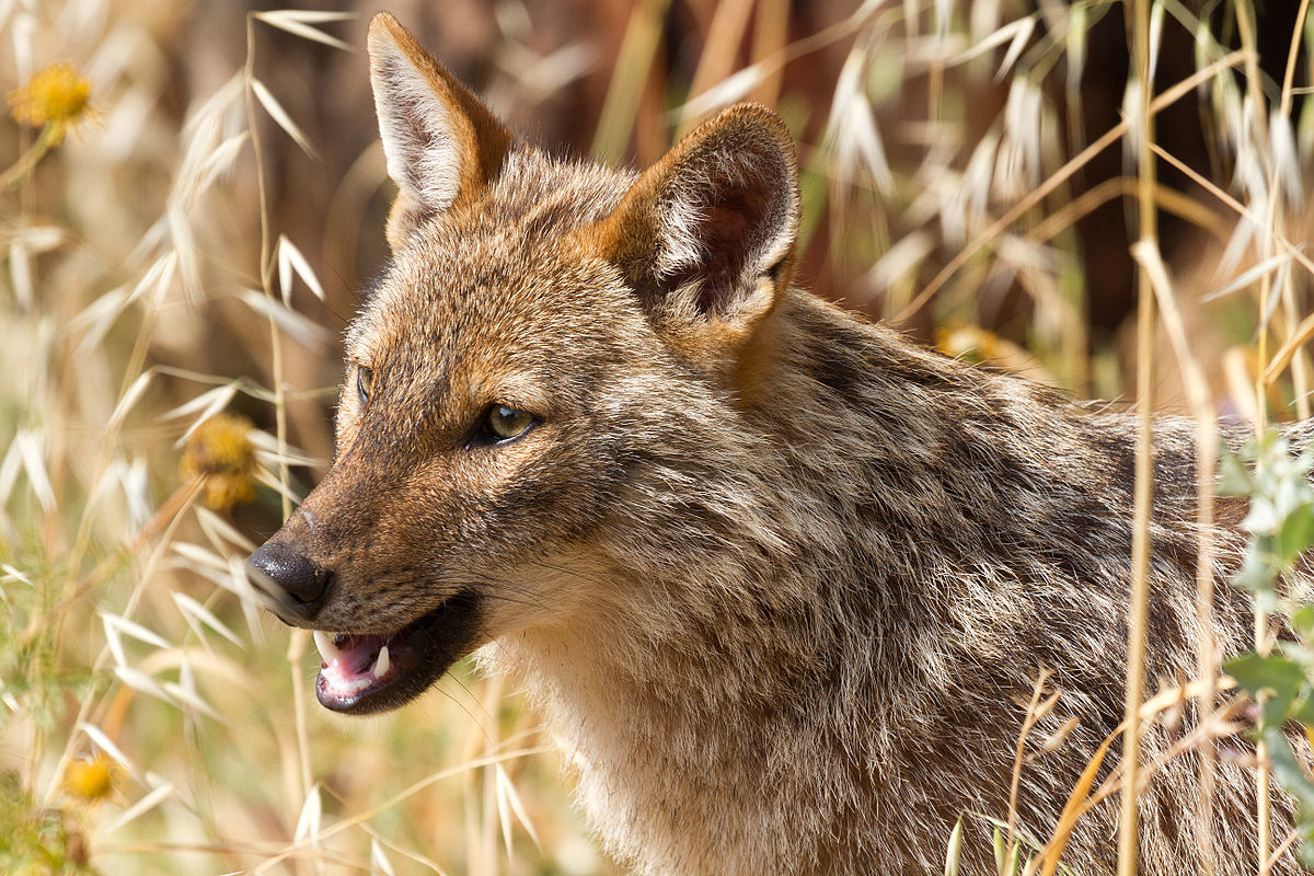 First-ever golden jackal spotted in the Netherlands
