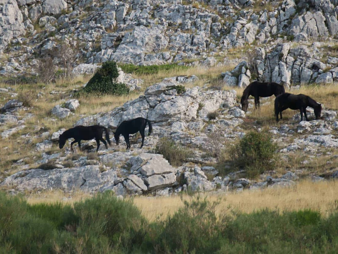 Wild horses repopulate the Cantabrian mountains, Northern Spain