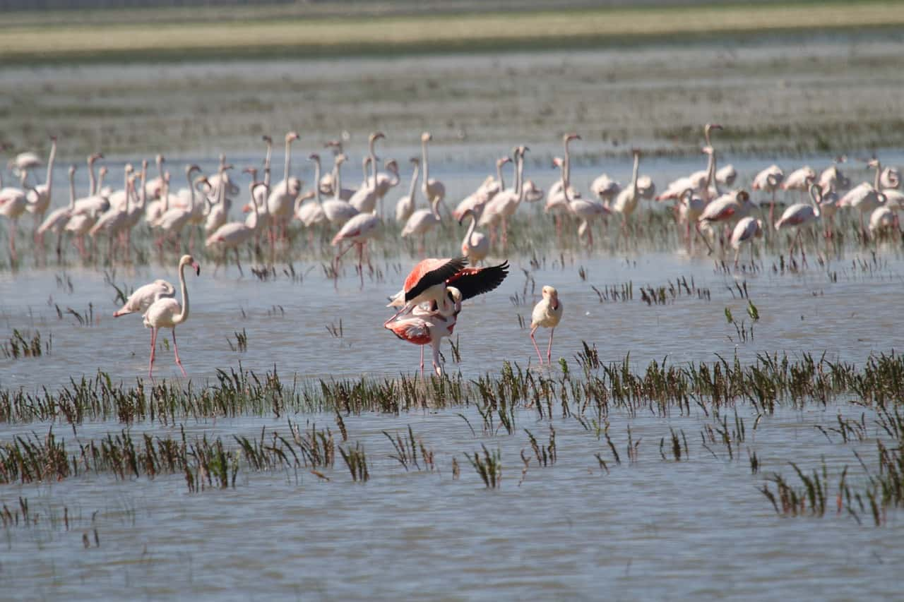 Greater Flamingos in Doñana.