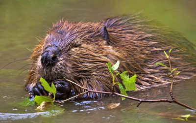 Beavers can tackle climate change and other environmental challenges we face, one stick at a time