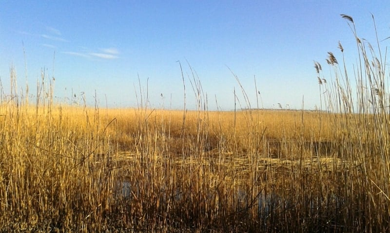 Reed as far as the eye can see.