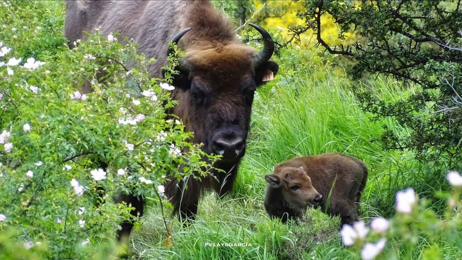 first bison calf born