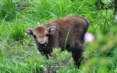 First bison calf born in the Riaño Mountains, Valle del Bisonte