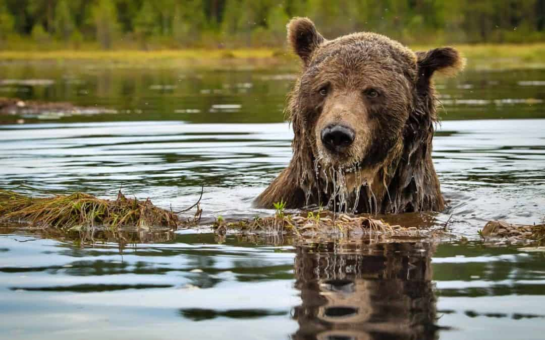 How can brown bears live alongside humans?