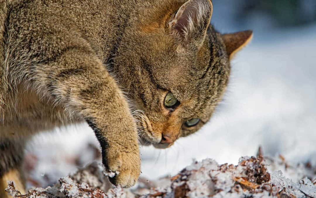 Wildcats threatened by domestic cats in the Jura mountains