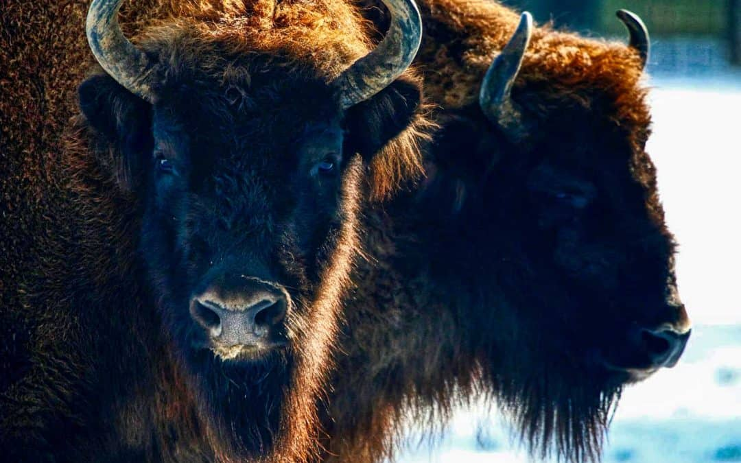 European bison recovering, thanks to continued conservation efforts – IUCN Red List
