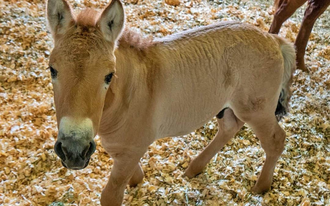 Birth of Cloned Przewalski's Foal Offers Genetic Diversity  for This Endangered Species